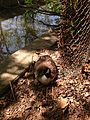 2014-05-12 11 17 09 Canadian Goose and nest with eggs along the Delaware and Raritan Canal in Trenton, New Jersey.JPG