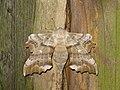 2014-07-23 Pappelspanner - Laothoe populi.jpg
