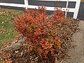 2014-12-20 13 09 00 Azalea cultivar 'Rosebud' during early winter along Terrace Boulevard in Ewing, New Jersey.JPG