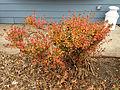 2014-12-20 13 16 19 Azalea cultivar 'Rosebud' during early winter along Terrace Boulevard in Ewing, New Jersey.JPG