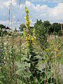 20140724Verbascum thapsus.jpg