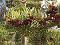 2015-04-30 15 55 25 Fir boughs and developing pollen cones along the Trail Canyon Trail in the Mount Charleston Wilderness, Nevada about 2.0 miles north of the trailhead.jpg