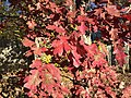 2015-11-08 15 19 59 White Oak foliage during autumn along West Ox Road (Virginia State Secondary Route 608) in Oak Hill, Fairfax County, Virginia.jpg