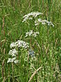 20150605Valeriana officinalis1.jpg