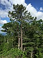 2016-06-06 08 57 22 Pine along U.S. Route 33 (Blue Gray Trail) near the High Knob Trailhead in southeastern Pendleton County, West Virginia.jpg