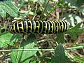 20171001Papilio machaon2.jpg
