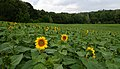 2018-07-15 Sunflowers at Museum of Folk Architecture and Ethnography in Pyrohiv, Kyiv, Ukraine 1.jpg
