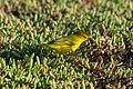 20180805-Yellow Warbler at Seymour Norte-10 (9302).jpg