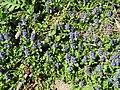 2019-04-25 (104) Ajuga reptans (blue bugle) at Haltgraben, Frankenfels, Austria.jpg