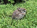 2019-05-12 17 42 01 An Eastern Cottontail Rabbit in a lawn along Tranquility Court in the Franklin Farm section of Oak Hill, Fairfax County, Virginia.jpg