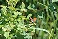 2019-06 Kalamalka Lake Provincial Park (11) unbekannter Schmetterling.jpg