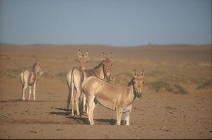 Mongolian wild ass - Mongolian wild asses in the Gobi Desert, Mongolia.
