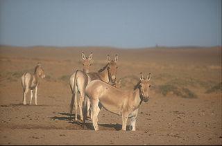 Mongolian wild ass subspecies of mammal