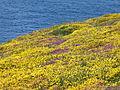 4001.Cap Frehel-Das aus rotem Sandstein und schwarzen Schiefer bestehende Kliffdach ist bedeckt von Wiesen aus vielfarbigen Heidekraut,Stechginster und Erika.JPG
