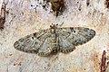 70.157 BF1853 Oak-tree Pug, Eupithecia dodoneata (8716815773).jpg