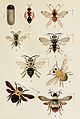 77-Indian-Insect-Life - Harold Maxwell-Lefroy - Mutillidae-and-Apidae.jpg