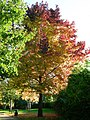 A 'blazing' maple - geograph.org.uk - 271965.jpg