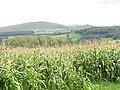 A Field of Maize at Aber Ogwen Farm - geograph.org.uk - 253721.jpg