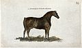 A Suffolk punch horse. Coloured stipple engraving by Neele. Wellcome V0021706.jpg