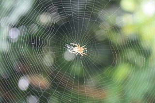Spider web device created by a spider out of proteinaceous spider silk extruded from its spinnerets, generally meant to catch its prey