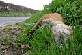 A dead fox on the A3123. - geograph.org.uk - 1256530.jpg