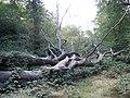 A fallen beech in Knighton Wood - geograph.org.uk - 281969.jpg