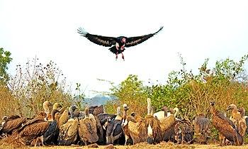 A flock of Vultures on carcass.jpg