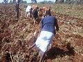 A lady ploughing in Chepyuk, Mt Elgon-Kenya in 2013-03-02 10.04.35.jpg