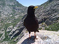 A lonely Chough on high mountain.jpg