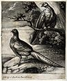 A male and female pheasant. Mezzotint. Wellcome V0022330.jpg