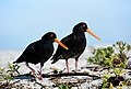 A pair of Variable oystercatchers. (14345644837).jpg