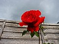 A red rose in its glory (37389190284).jpg