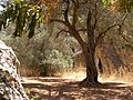 A restful area along the trail, under a carrob tree. - panoramio.jpg