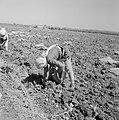 Aardappeloogst Vrouwen zijn bezig de aardappelen te verzamelen op de akker, Bestanddeelnr 255-4591.jpg