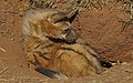 Aardwolf, Proteles cristata, at Lion and Rhino Reserve, Gauteng, South Africa (47987198482).jpg
