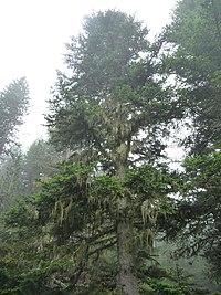 Abies alba Pyrenees-Orientales.jpg