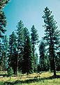 Abies concolor Pinus ponderosa.jpg