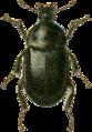 Ablattaria cribrata Jacobson.png