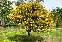 Acacia Saligna Wikipedia La Enciclopedia Libre