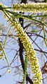Acacia flower.jpg
