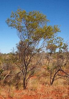 <i>Acacia melleodora</i> species of plant