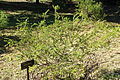 Acacia truncata - Jardín Botánico de Barcelona - Barcelona, Spain - DSC09341.JPG