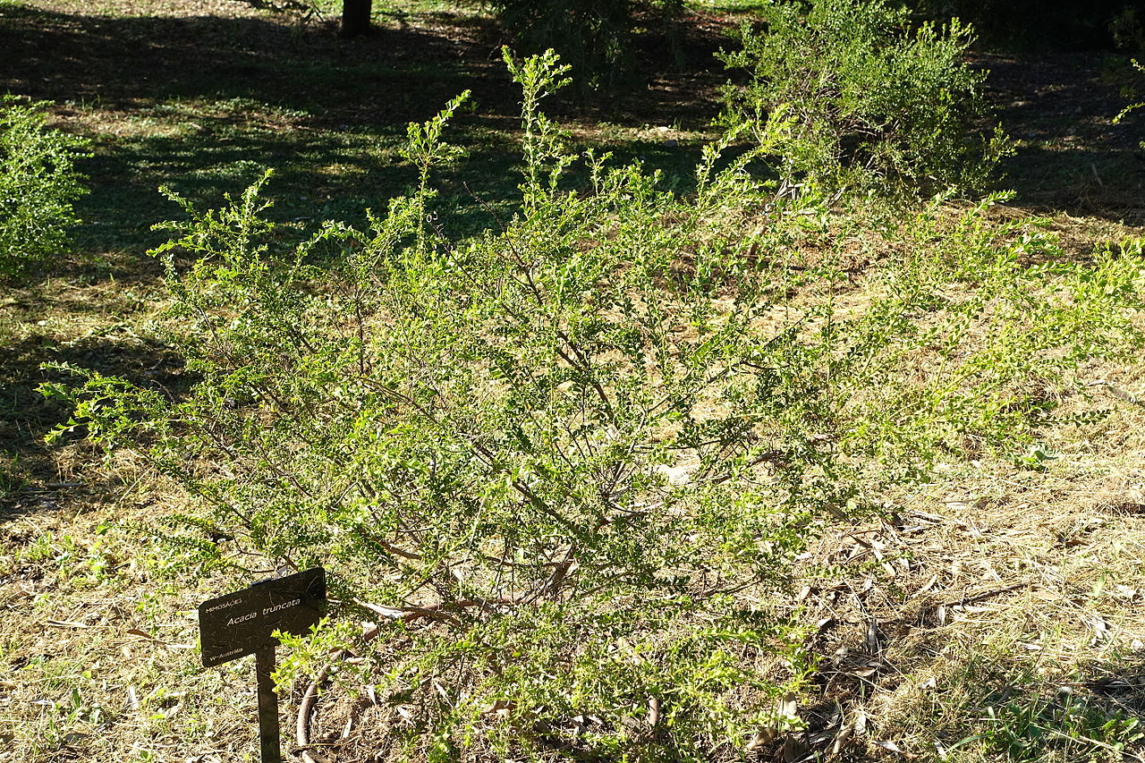 File acacia truncata jard n bot nico de barcelona for Barcelona jardin botanico