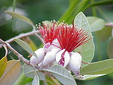 Feijoa (A. sellowiana)