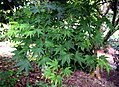 Acer japonicum in Auckland Botanic Gardens 04.jpg