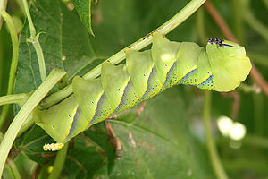 Acherontia atropos larva 2.jpg