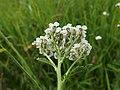 Achillea millefolium (14402028393).jpg