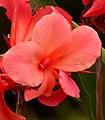 Achira (Canna indica) (14662102580).jpg