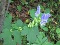 Aconitum axilliflorum 48540225.jpg