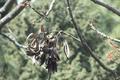 Acrocarpus fraxinifolius KR17 Bhowali Tree 3.png